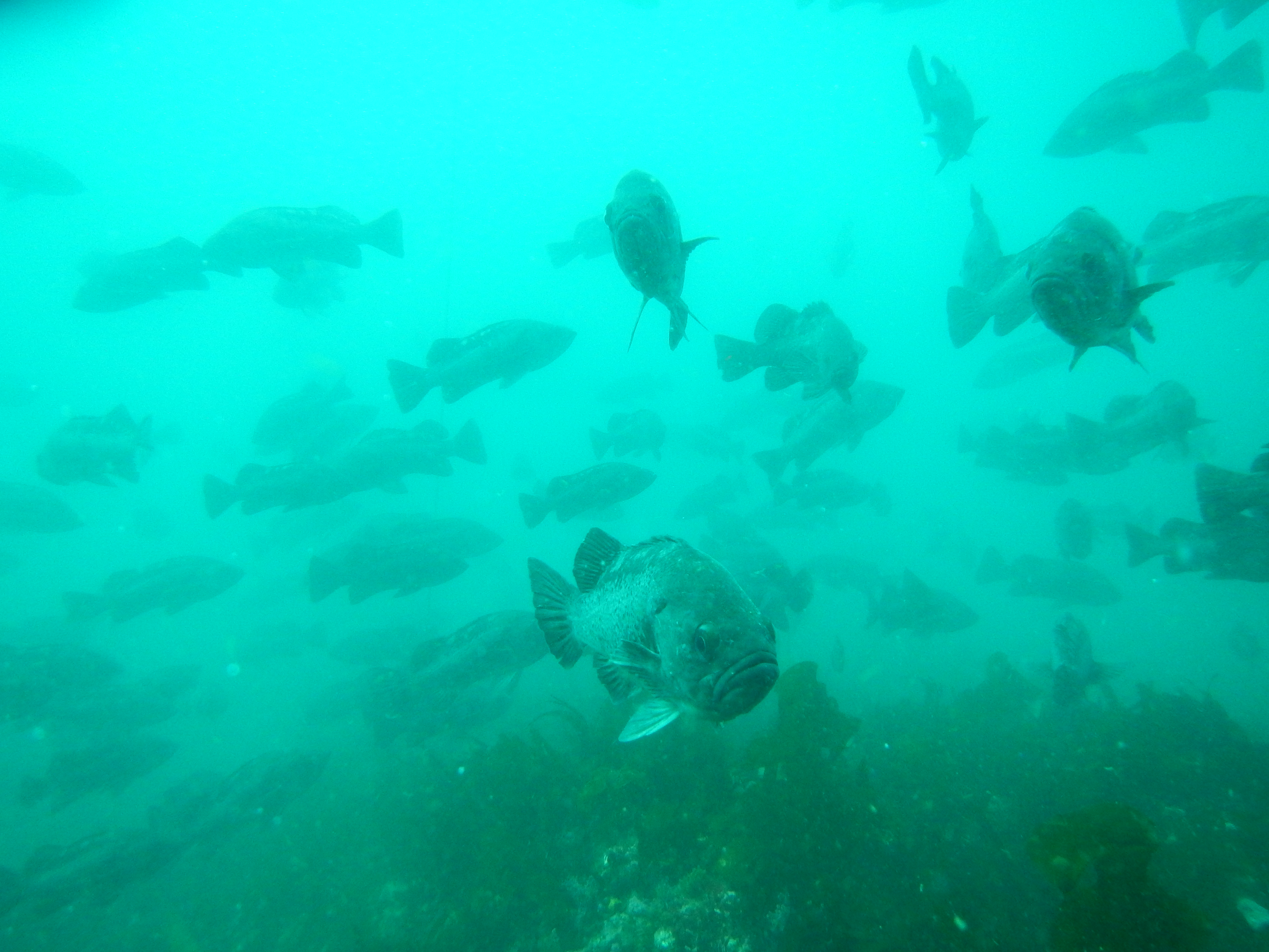 Oregon State University Port Orford Field Station schooling rockfish