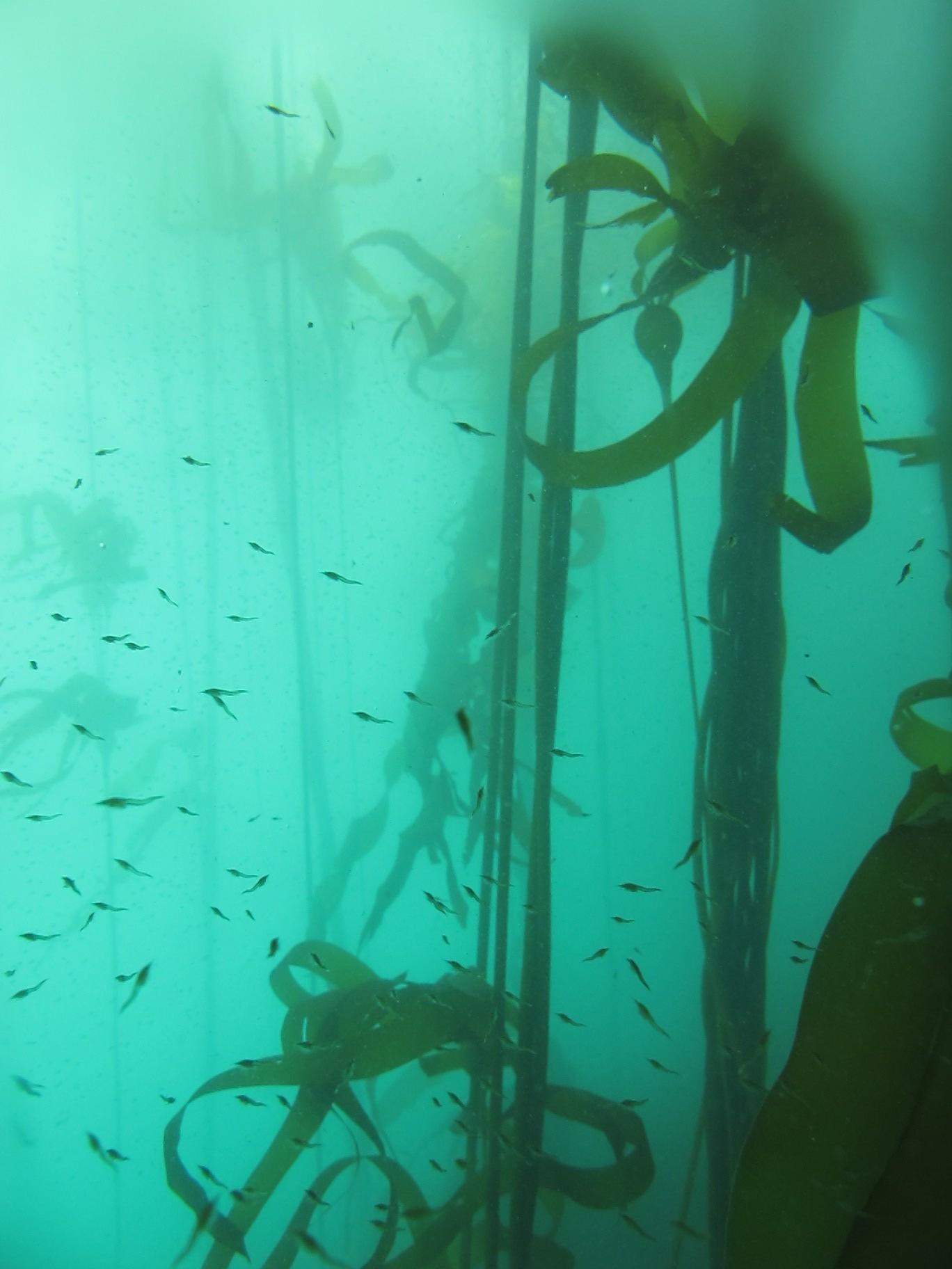 bull kelp forest Port Orford Oregon